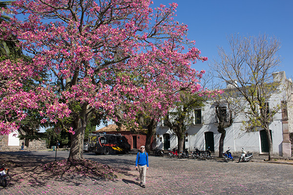 Plaza with silk floss tree in Colonia del Sacramento