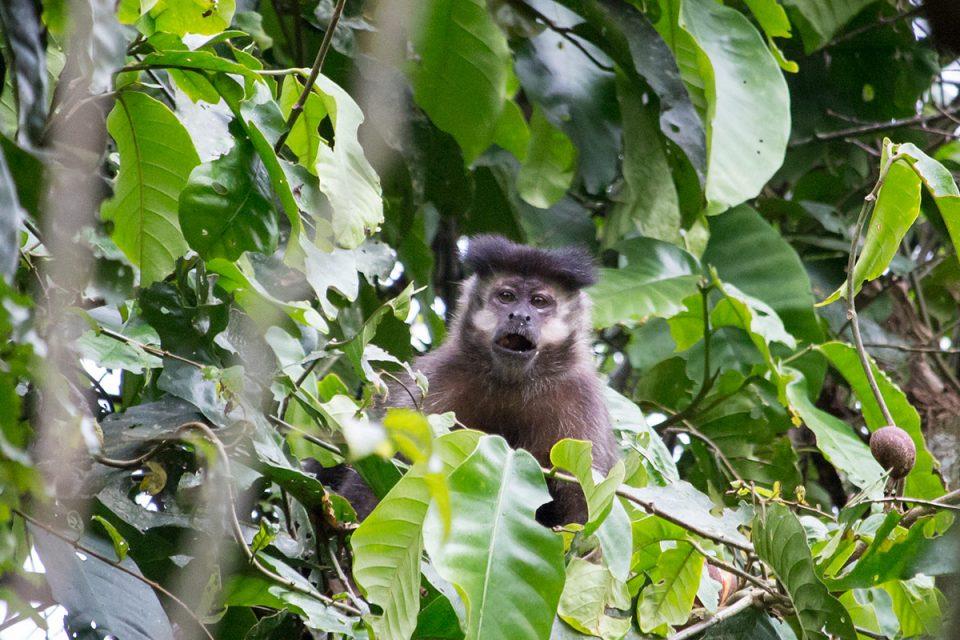 Capuchin monkey in Iguazu Falls, Brazil