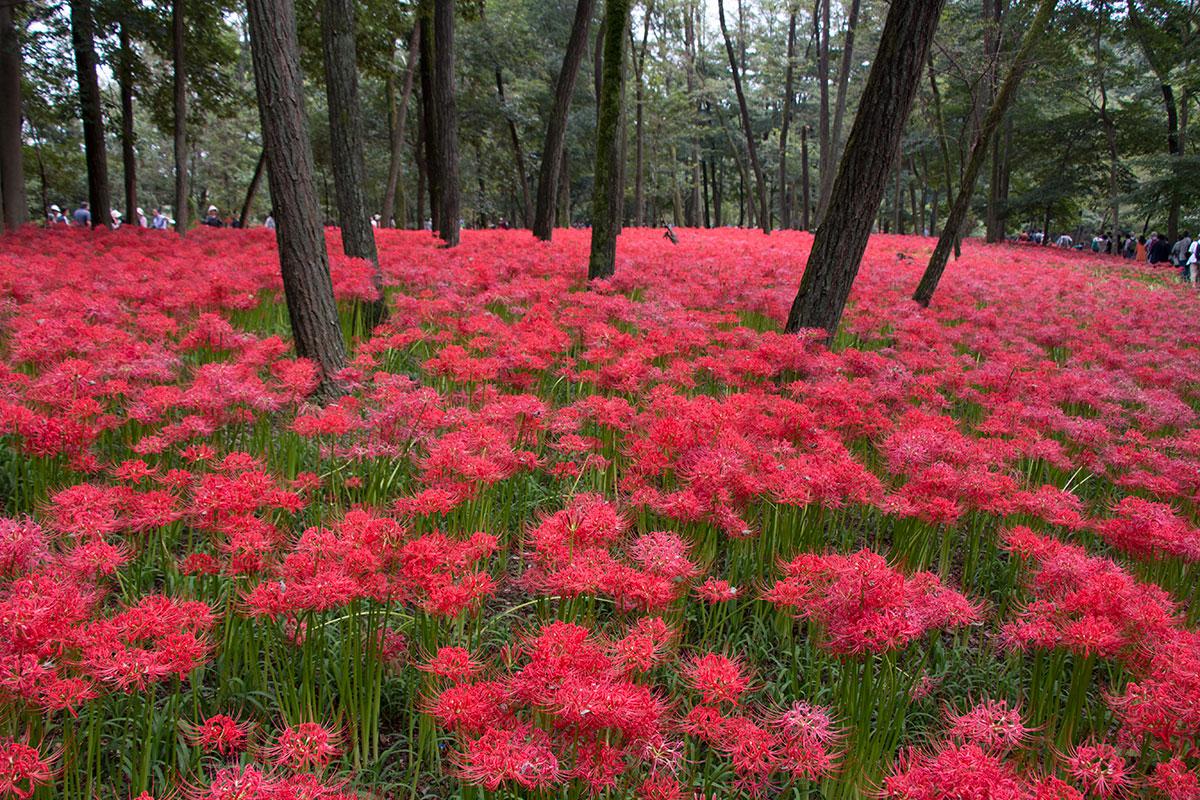 japan-spider-lilies-1