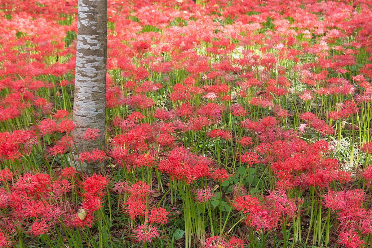 japan-spider-lilies-11
