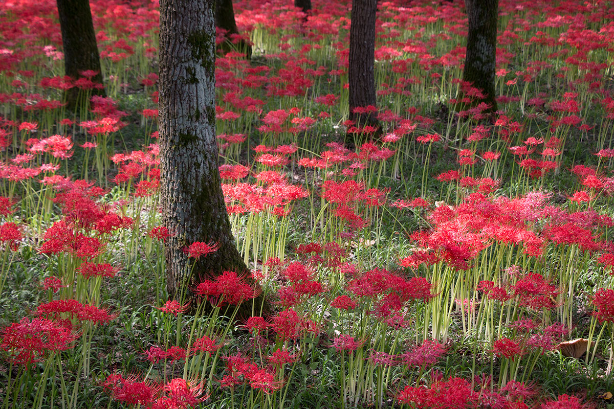 The Red Spider Lilies Of Kinchakuda Contemporarynomad