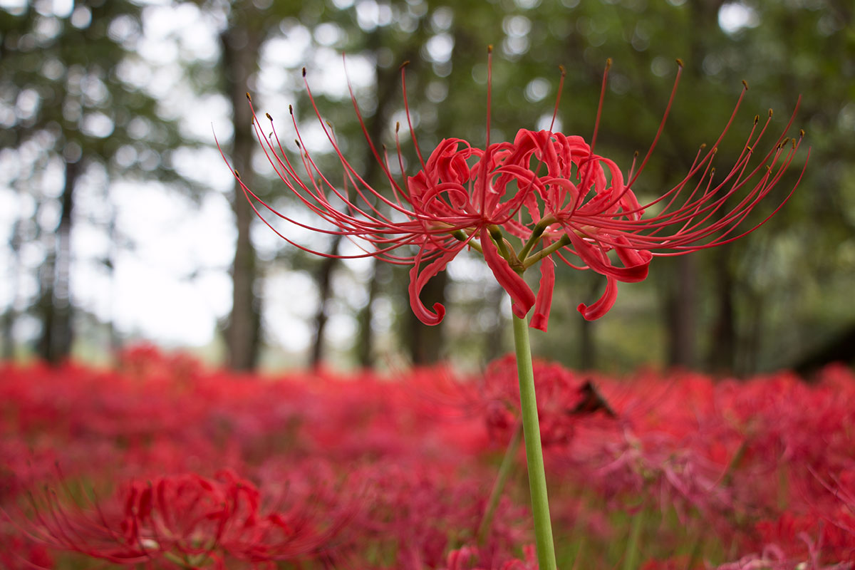 japan-spider-lilies-5