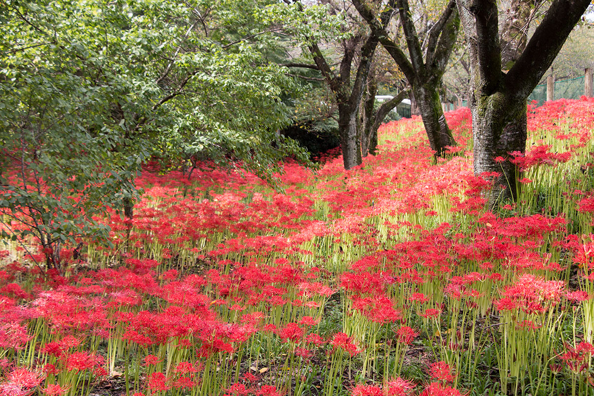 The Red Spider Lilies of Kinchakuda