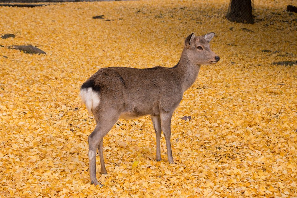 A deer wandering over a carpet of ginko leaves in Nara