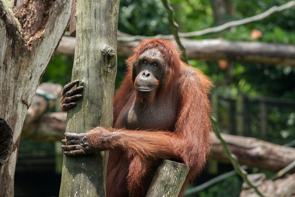 Orangutan at the Singapore Zoo