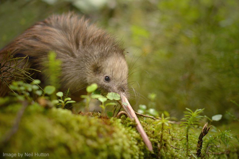 Things to Do in New Zealand: Kiwi Bird Watching in New Zealand