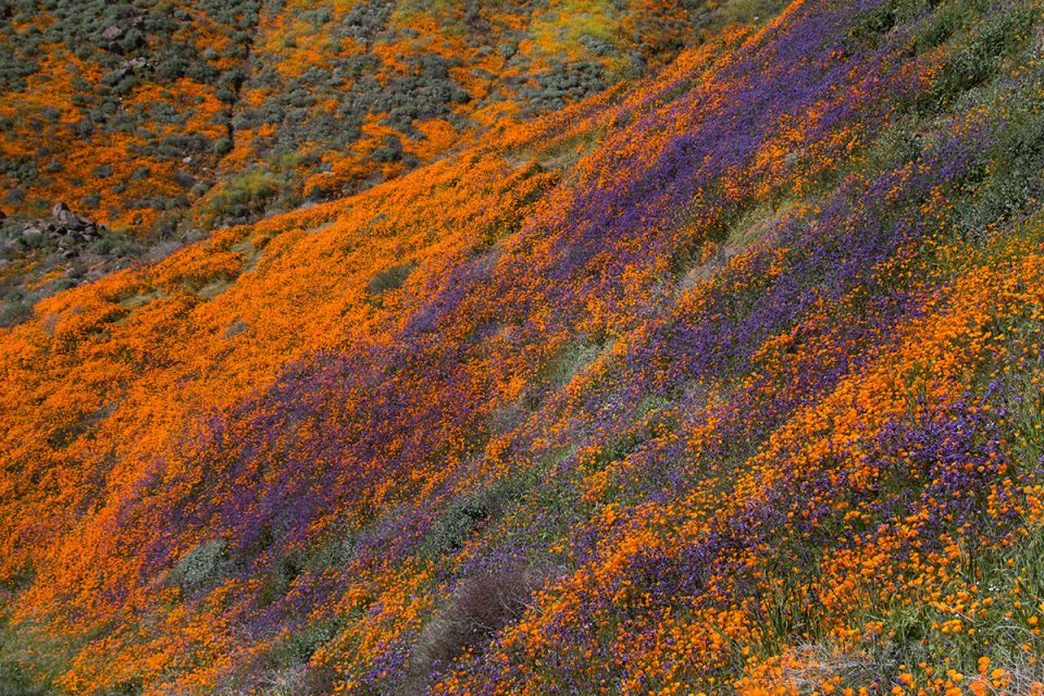 Orange and Purple at the Walker Canyon Superbloom