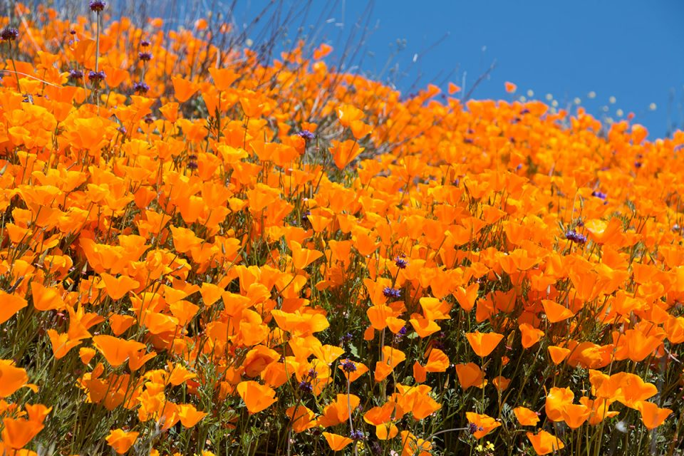 California Poppies Superbloom