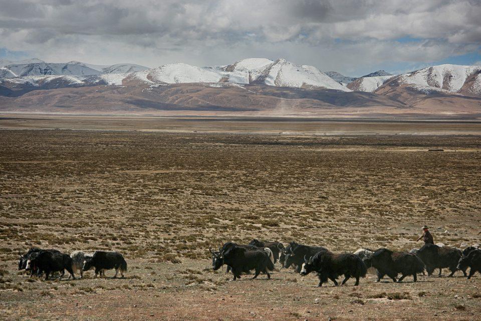 Yaks in western Tibet