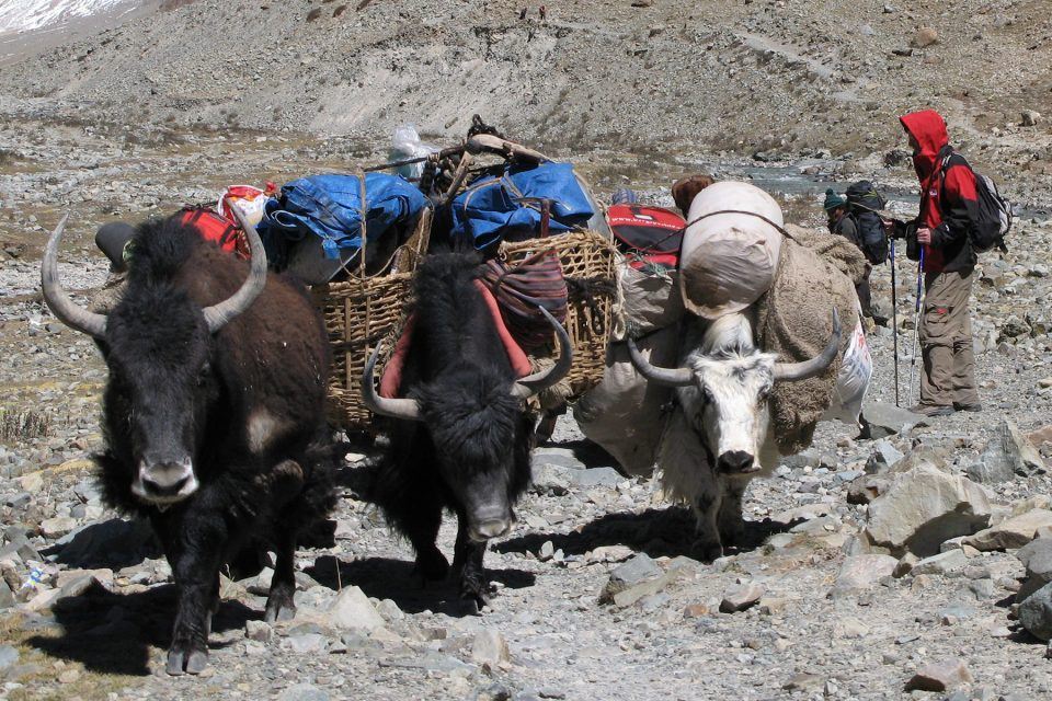Yaks on the Kailash kora