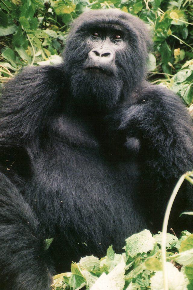 Tracking mountain gorillas in D.R.C.