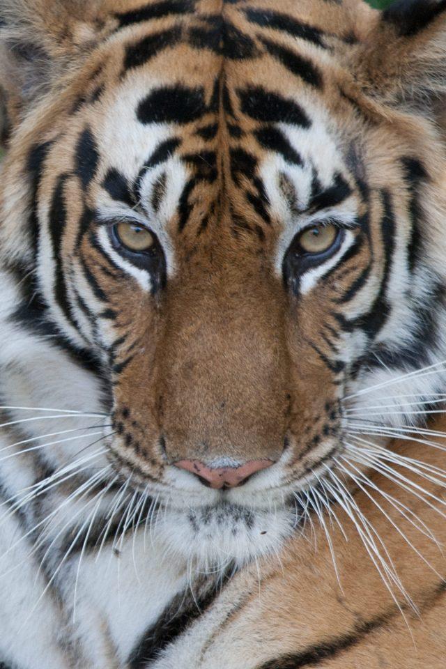 Tracking tigers (Madhya Pradesh, India)