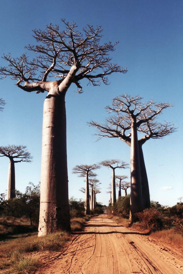 Elephant baobabs in Madagascar
