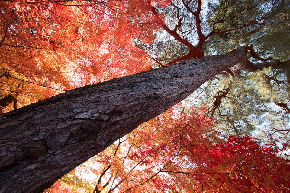 Kyoto canopy of leaves