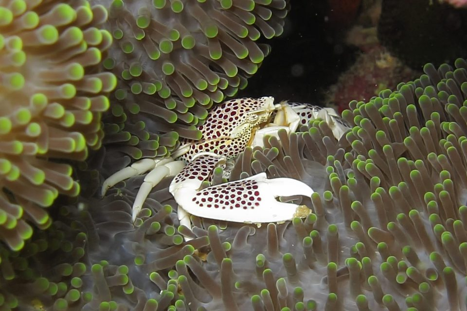 Crab living in an anemone