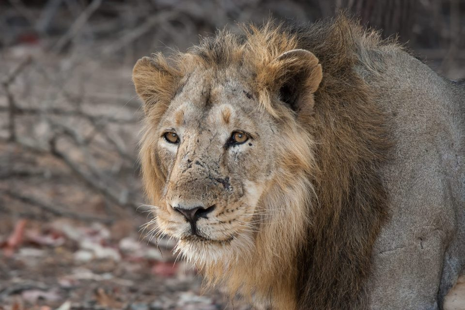 Asiatic lion in India's Gir Forest National Park